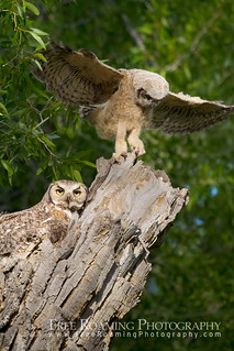 Great Horned Owlet Balancing | by Free Roaming Photography