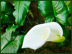 Zantedeschia aethiopica (Calla Lily, Arum Lily, Trumpet Lily, Common Arum Lily)