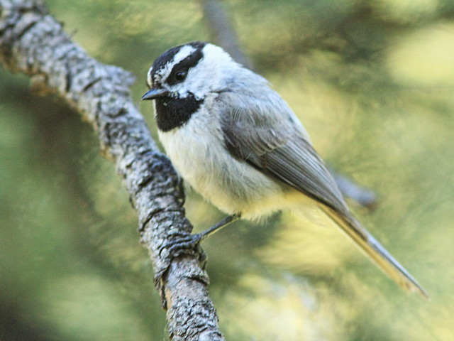 Mountain Chickadee 02-20160615