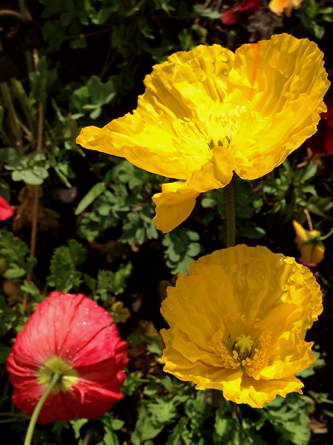 Rosella poppy amapola pavot papavero