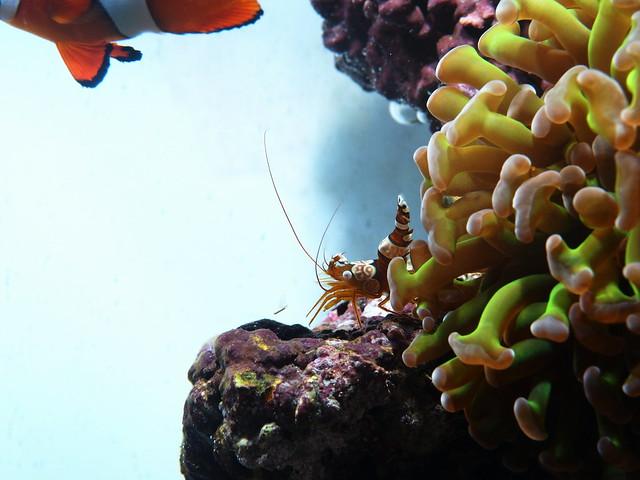 P5154779 性感蝦 榔頭珊瑚