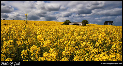 Fields of Gold | by Rob Kendall (aka minolta mad)