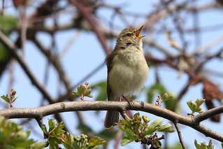 Chiffchaff, Paxton Pits, Cambridgeshire | by Andy_Hartley