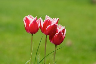 Tulips | by julesberry2001