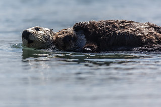 Mother Sea Otter with Baby Pup on Chest. Sea Otters (Enhydra lutris) occupy their usual spot off Target Rock in the harbor just south of Morro Rock. | by mikebaird