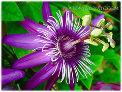 Flowering Passiflora incarnate (Maypop, Purple Passionflower, True Passionflower)