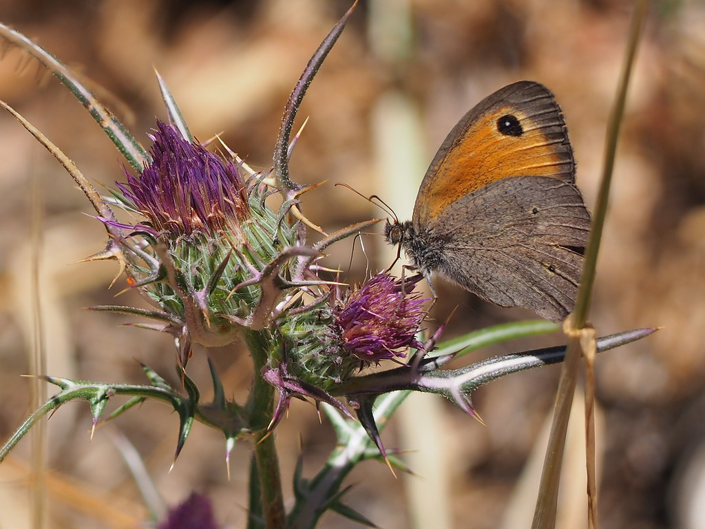 A butterfly feeding on a thorny flower