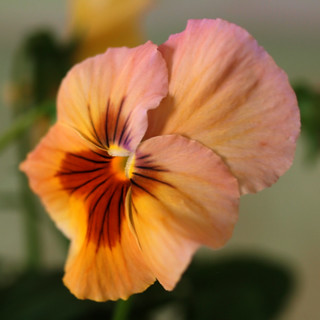 Sunset Pansy | by ladyinpurple