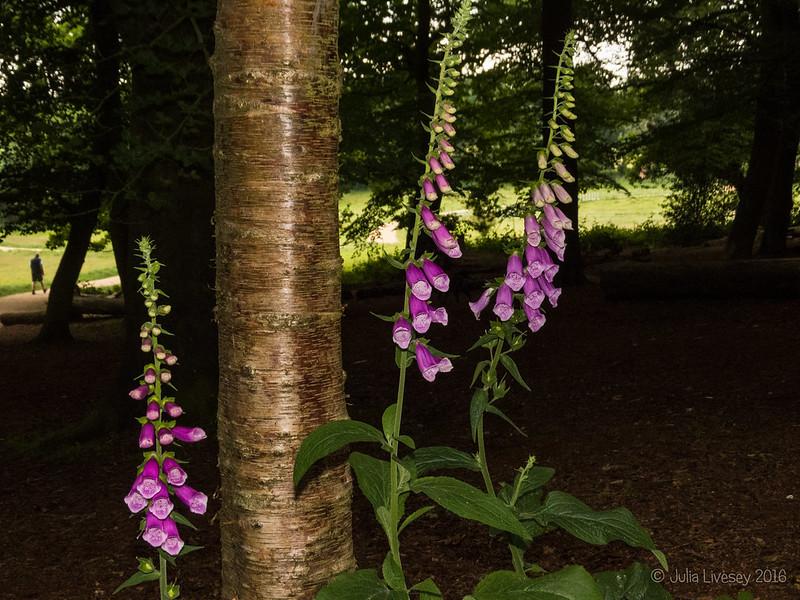 Foxgloves in the Woodland Walk
