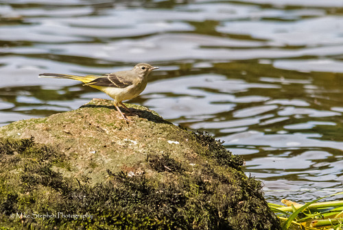 Juvenile Grey Wagtail | by mike.stephen99