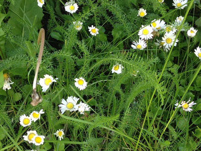 Daisies and yarrow