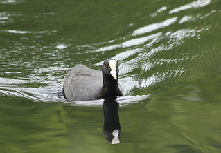 Coot and reflection | by catb -