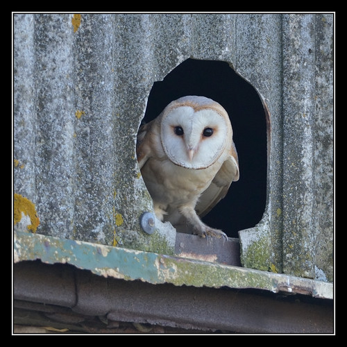 Barn Owl | by Full Moon Images
