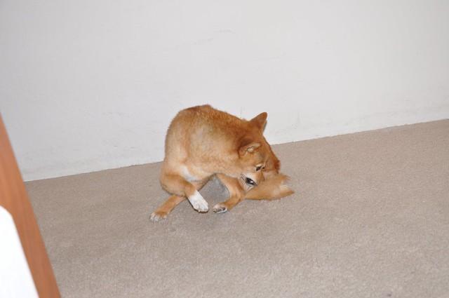 taro noms his tail