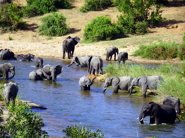 Lion Sands Safari Day 3- A herd of elephants cooling off in the Sabie River