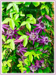 Passiflora incarnate (Maypop, Purple Passionflower, True Passionflower), with 3 to 5-lobed serrated leaves