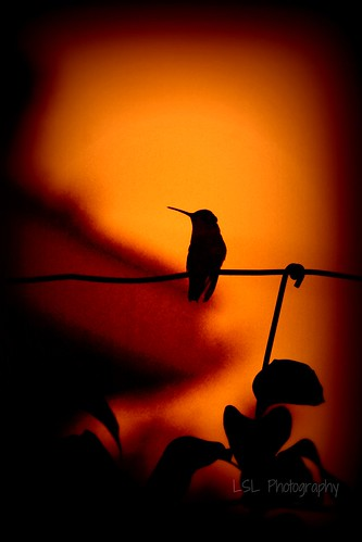 Humming Bird | by Louise St Laurent Nicoll