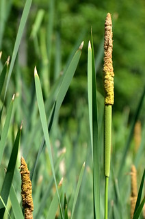 Narrow-leaved Cattail | by hickamorehackamore
