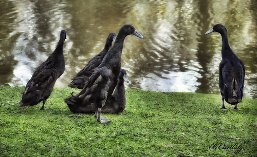 "Happy Family ""Birkenhead Park"" ""Indian runner ducks"" 