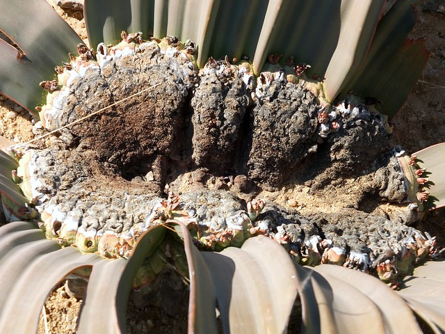 Welwitschia Mirabilis close-up