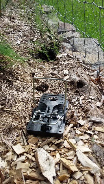 A trap set outside a chipmunks tunnel by Eve Fox, the Garden of Eating, copyright 2016