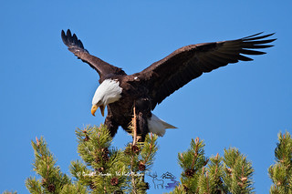 Landing Bald Eagle | by Daryl L. Hunter - Hole Picture Photo Safaris
