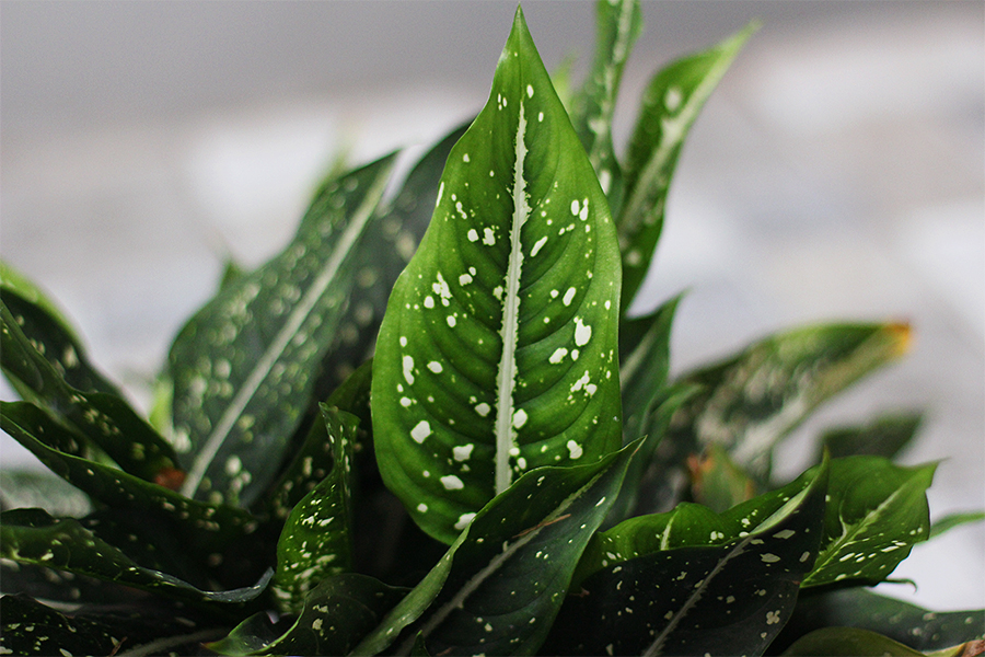 Leaf-spots