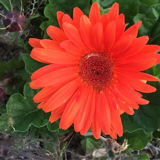 #gerberdaisy #orange this time