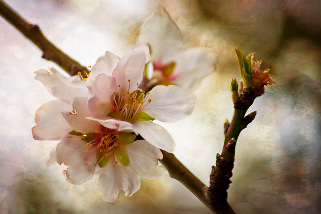 Theophilos Papadopoulos: Blossoms