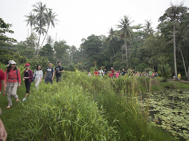 Guided walk of Ubin mangroves with Restore Ubin Mangroves (R.U.M.) Initiative at Pesta Ubin 2016
