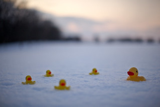 Ducks in the Snow (橡皮小鴨) | by pamhule