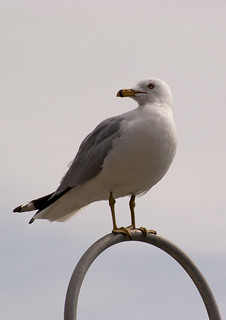 Sea Gull Perch | by fran.trudeau