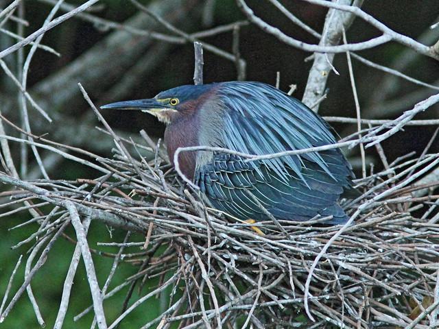 Green Heron covering nestlings 4-20160526