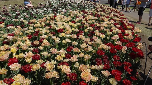 Ottawa's Tulips