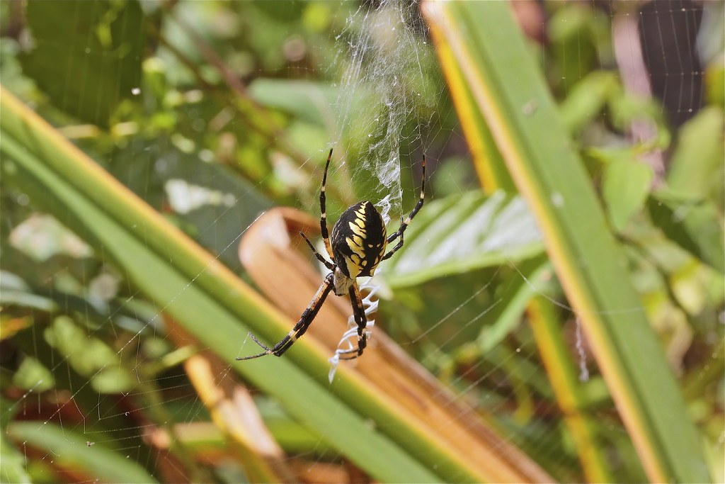 With seemingly infinite patience, Argiope aurantia casts her net for hapless hexapods.