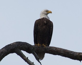 Bald Eagle | by a200/a77Wells