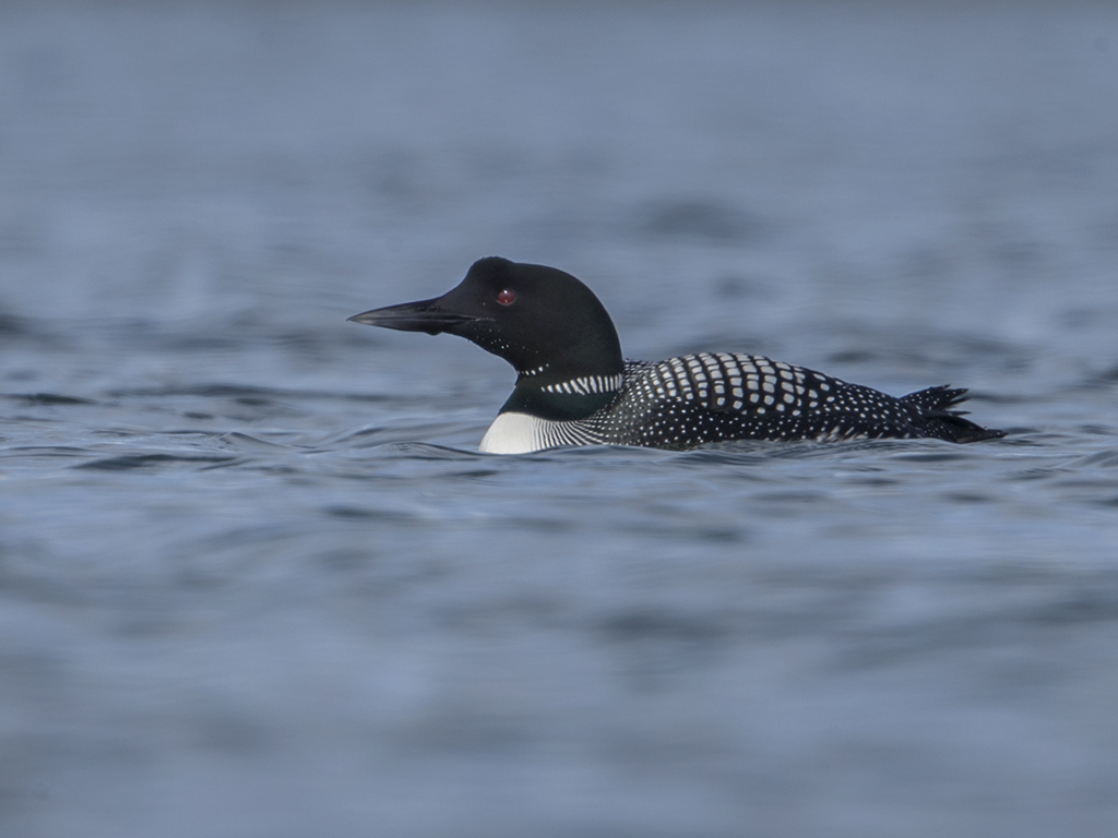 Great Northern Diver  Iceland