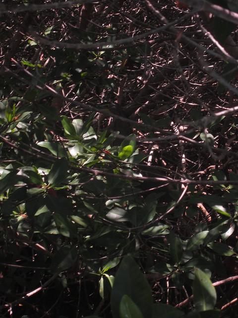 shipman-tiger-heron