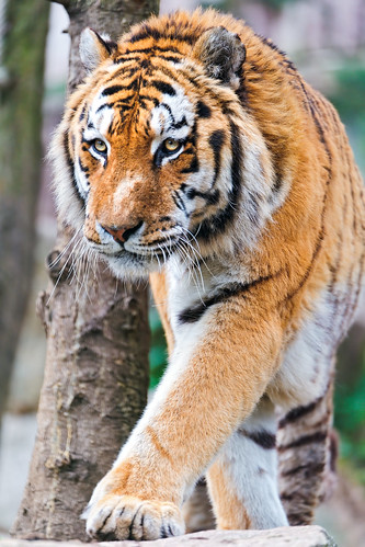 Walking big Amur tiger | by Tambako the Jaguar