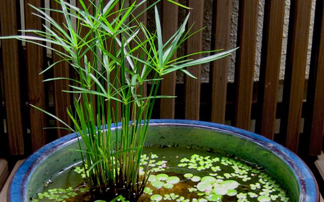 コシュロガヤツリ ミニシペラス ビオトープ Cyperus alternifolius Umbrella Palm
