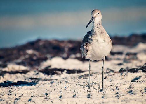 Sandpiper at Clearwater | by Judy Rushing