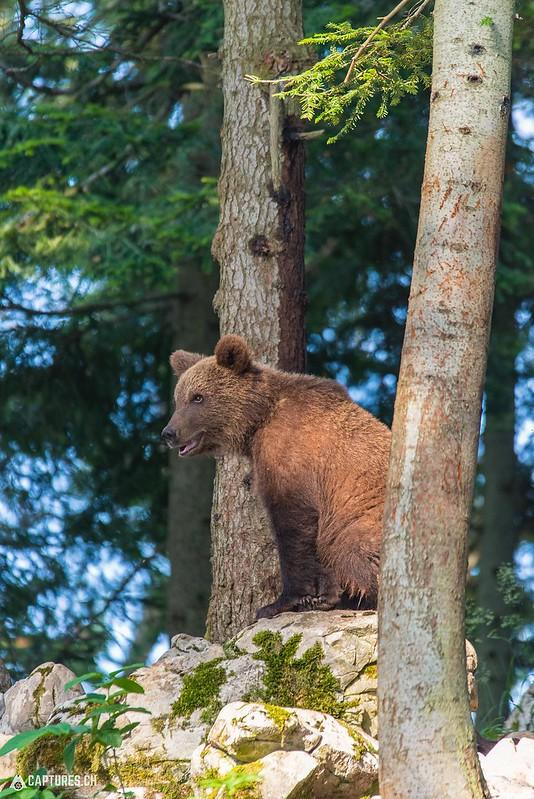 Brown bear 8 - Slovenia