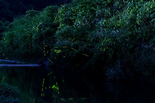秋里川のホタル 2