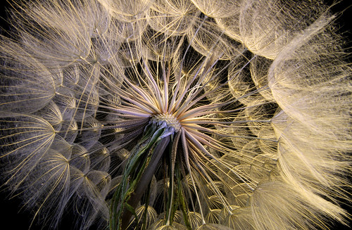 Goat's Beard Revealed | by arbyreed