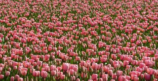 Field of pink tulips | by Frans.Sellies