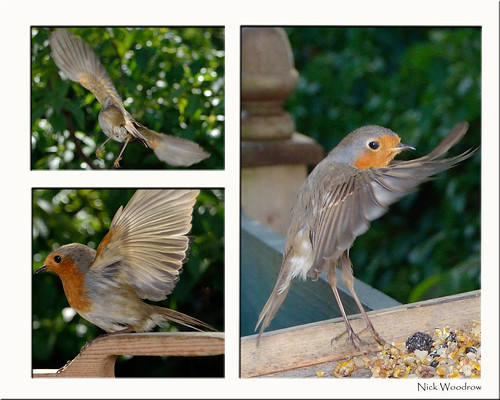 Robin | by Nick Woodrow: Thanks for all of your comments