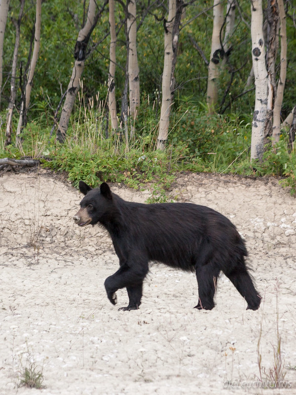 Blackbear beside Alaska Highway
