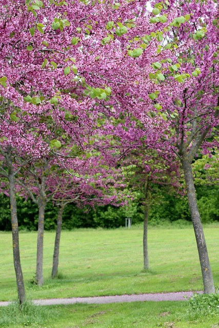 Pink trees in the park II