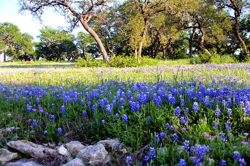 Texas Bluebonnets | by phleeppetite