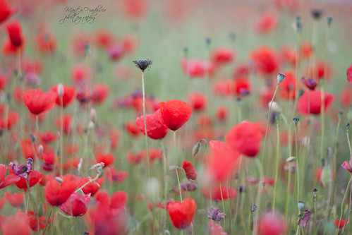 how many poppies are there? | by Marta Fradusco Photography